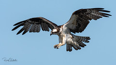 Osprey of the Jersey Shore | 2018 - 27 (RGL_Photography) Tags: birding birds birdsofprey birdwatching fisheagle fishhawk gardenstate jerseyshore monmouthcounty newjersey nikonafs600mmf4gedvr nikond500 osprey pandionhaliaetus raptors seahawk us unitedstates wildlife wildlifephotography bif birdsinflight sandyhook gatewaynationalrecreationarea