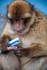 Breakfast (Tony Shertila) Tags: catalanbay gib geo:lat=3613381958 geo:lon=534569755 geotagged gibraltar europe animal barbary ape barbaryape barbarymacaque monkey