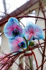 Blue Pink Orchids (YY) Tags: keukenhof lisse netherlands southholland