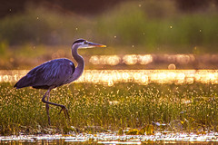 Great Blue Heron (Daniel000000) Tags: great blue heron bird wild animal light bokeh dslr nikon d750 tamron 150600 birds lake summer spring water new big nature focus wildlife