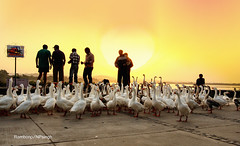 Good morning (Rambonp:loves all creatures of this universe.) Tags: sukhnalake chandigarh birds goose sunrise sun sunrays blue red yellow green water reflectiontrees sky clouds nature landscape wallpaper paradise silhouette mountains morning india atthecrackofdawn canoeing sportsman sports rowing