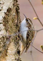 Treecreeper (Phil Everett Photography) Tags: treecreeper birds nature photo photography wildlife wildlifephotography londonwildlife langleypark canon 100400 5d3