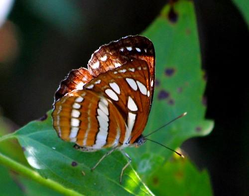IMG_2207/Thailand/Koh Samui Island/Neptis Hylas Papaja/male/Verso