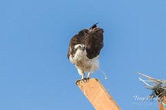 Osprey doing what birds do