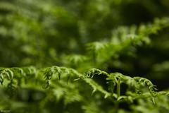 ferns (lars1387) Tags: fern green nikon d810 summer