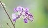 _DSC2011-2 (Yiing Juii) Tags: 2018 wisteria 紫藤