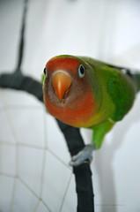 H E L L O (EmanuelaArdelean) Tags: kiwi agapornis parrot