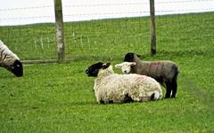 Protection (bimbler2009) Tags: fujifilms9900w grass sheep animal downs tree outdoor nature