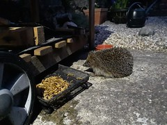 Hedgehog (keith.gallie) Tags: hedgehog meal worms pellets feeding garden visitor nightly