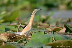 Sgarza ciuffetto _015 (Rolando CRINITI) Tags: curtatone uccelli uccello birds ornitologia sgarzaciuffetto mincio natura