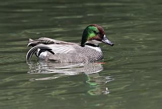 Falcated Duck - Arundel WWT