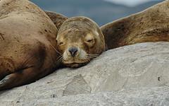 Sleeping (Tati@) Tags: leonemarino fauna sealion tierradelfuego argentina animal