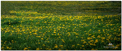 MAY 2018 NGM_7915_4557-2-222 (Nick and Karen Munroe) Tags: weeds weed dandelions dandelion yellow field fields lawns lawn bloom blooming flowering flower flowers plant plants spring karenandnick munroe karenmunroe karen landscape ontario outdoors brampton bramptonontario ontariocanada nikon nickandkaren nickandkarenmunroe karenick23 karenick karenandnickmunroe nature canada nick d750 nikond750 munroedesigns photography munroephotoghrpahy nickmunroe munroedesignsphotography munroephotography munroenick landscapes beauty brilliant nikon85f18 nikon85 nikon8518 85f18 f18 85mm