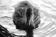 The little ducking (ejhrap) Tags: duck mallard anas platyrhynchos bird black white blackandwhite bw