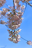 Cherry Blossoms 🌸 🌸 (SonjaPetersonPh♡tography) Tags: blooms blossoms trees flowers vancouver bc canada nikon nikond5300 petals spring coalharbour downtownvancouver pinkflowers springtime britishcolumbia macro