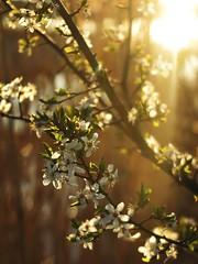 L'or du printemps (nathaliedunaigre) Tags: blossoms aubépines or gold coucherdesoleil sunset sunsetlight fleurs flowers printemps spring