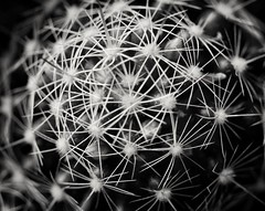 Cacti (Dimitar Dt) Tags: minolta1004macro macrophotography 12macro macrolens cactus cacti fujix bnwconversion filmsimulation spines fujilove monochrome blackandwhite naturephotography plants