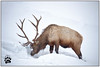 Bull Elk 011017-4120-W.jpg (RobsWildlife.com © TheVestGuy.com) Tags: 011017 snowcoveredbison winter nature nationalpark frost robswildlife robswildlifephototours animal animallovers wildlife ice robswildlifecom coldsnow naturelovers snow yellowstonenationalpark snowcovered yellowstone snowing