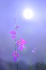 ... El fin del día ... (Device66.) Tags: gladiolus edvice sunset sun star wild onthefloor mygarden lookswild testing stuff yeahh sauvage device