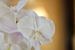 Orchid sunset! (ineedathis, Everyday I get up, it's a great day!) Tags: orchid sunset phalaenopsis exotic tropical beauty garden flower nature autumn yellow nikond750 macro blossom plant