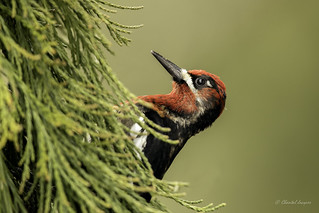 Portrait of a Red-breasted Sapsucker