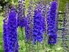 Delphinium elatum (yewchan) Tags: flower flowers garden gardening blooms blossoms nature beauty beautiful colours colors flora vibrant lovely closeup delphinium delphiniums larkspur alpinedelphinium candlelarkspur