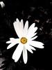 Margarita (Mar Roncero Sanchez) Tags: blanco flower daisy close up white