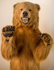 Go Bears (Thomas Hawk) Tags: bayarea berkeley cal calbears calberkeley california college eastbay haaspavilion uc ucberkeley usa unitedstates unitedstatesofamerica univeristyofcalifornia university universityofcalifornia walterahaasjrpavilion westcoast bear taxidermy us fav10