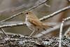 DSC_6708 (csbirds512) Tags: nature nikon d500 nh new hampshire hermit thrush tamron outdoors coast seacoast