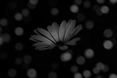 creative daisy (Greg Rohan) Tags: creativeart creative blackwhite d7200 nikkor nikon 2017 macro flower bw blackandwhite monochrome bokeh blur black white nature plant daisy