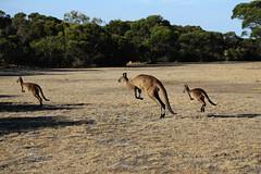 Kangaroos (Bert#) Tags: australia kangaroo island vivonne bay nature animals travel