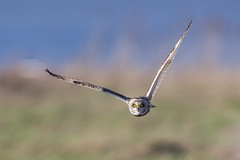 Short Eared Owl (Glenn.B) Tags: aust gloucestershire birdofprey bird shortearedowl owl