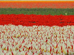 Tulipfields (Corine Bliek) Tags: colours spring bulbd bulbfields bollenvelden bollenstreek bloemen flowers colourfull kleuren kleurrijk voorjaar