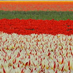 Tulipfields thumbnail