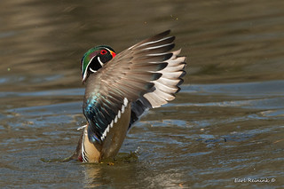 A big wing flap