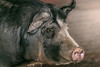 Boar (Jenna.Lynn.Photography) Tags: boar pig animal fur snout nose eye browneye ear ears bokeh farmanimal farming winter spring portrait eos canon tamron 5dmarkiii detail macromonday macro market piggy black bnw blackandwhite mammal