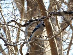 Blue Jay & Rat Snake (treegrow) Tags: rockcreekpark washingtondc nature lifeonearth bird aves squamata snake serpentes colubridae corvidae pantherophisalleghaniensis taxonomy:binomial=pantherophisalleghaniensis cyanocittacristata taxonomy:binomial=cyanocittacristata