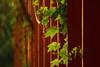 Folders (Debmalya Mukherjee) Tags: leaves leaf green debmalyamukherjee canon550d 18135 red anushaktinagar mumbai