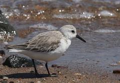Sanderling at South Amboy Waterfront (Tombo Pixels) Tags: southamboy180063 sanderling bird nj newjersey twb1 southamboy
