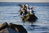 FEG0405 FOTOMURAL HOGAR GAVIOTAS (Galeria Zullian & Trompiz) Tags: ribersborg beach fåglar low malmö måsar outdoor ribban seagulls strand sweden water öresund skånelän sverige se