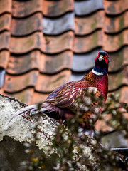 Pheasant (tommosnaps) Tags: bird birds wildlife pheasant olympus uk england southwold nature animal britain amateur