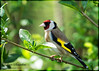 Goldfinch (dave101saunders (djsphotographicimages.com)) Tags: goldfinch bird woodland avian feathers feather flight gold finch red hallplace