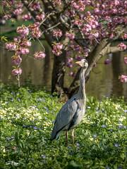A Heron on St. James's Park. (Jon Fitton) Tags: stjamespark birds nature places england london lightroom heron unitedkingdom gb