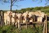 A L'ABREUVOIR. (Diké) Tags: printemps vaches au pré joli coin dauvergne sortie avril petite toscane campagne image archives dikée