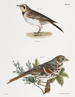 165. Horned Lark (Alauda cornuta) 166. Fox-colored Sparrow (Fringilla iliaca) illustration from Zoology of New york (1842 - 1844) by James Ellsworth De Kay (1792-1851).
