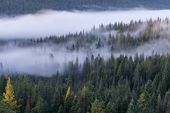 foggy forest (Dancing.With.Wolves) Tags: fog mist foggy trees drive home sun light morning green summer 2018 mountains california weather white mystical mystic