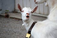 Calling Goat (Rolf-Schweizer) Tags: goat animalphotography artphotography art appenzell artist rolfschweizer rolfschweizerfotografie rolfschweizerphotography toggenburg thechurchofjesuschristoflatterdaysaints canon creative colour bauernverband bauer naturephotography nature natur heart hoffeld heaven harmony hope