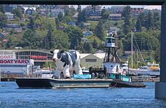 0652_Island Chief_Hullabamoo (lg evans Maritime Images) Tags: maritimeimages ©lgevans lgevans lge islandchief barge cow juneisnationaldairymonth moo hulabamoo seattlewa tugboat water lake bay everywhere