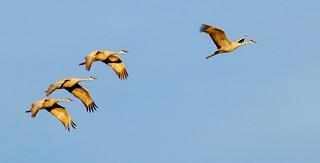 Evening Procession -- Sandhill Cranes (Grus canadensis); Ladd Gordon Waterfowl Complex, Bernado, NM [Lou Feltz]