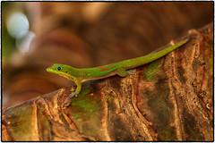 Aloha ! (drpeterrath) Tags: canon eos5dsr 5dsr lizard gecko animal color porrait portrait nature tree kauai hawaii travvel outdoor poip